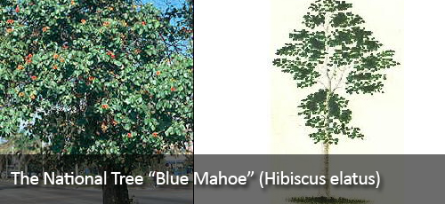 Quick Facts on Jamaica – Blue Mahoe (Hibiscus elatus ...